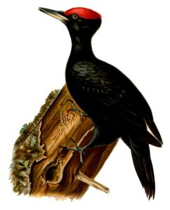Gertrude's Bird aka Black Woodpecker (courtesy of Wikimedia Commons)