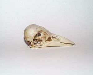 Corvus corone skull. Courtesy of Wikimedia Commons.