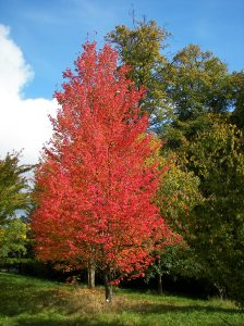 Red Maple, New Botanical Garden Marburg; photo by Willow. Courtesy of Wikimedia Commons.